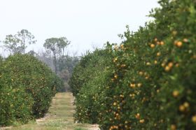 "Stability ""a good thing"" for Florida citrus"