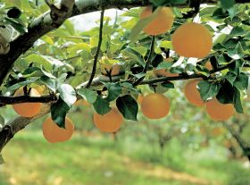 Korea's pear production drops