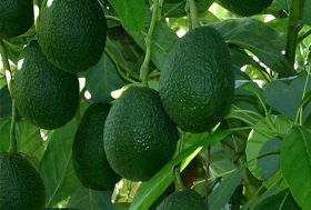 Avocado theft on the rise in NZ