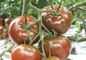 Russia lifts Turkish sanctions but tomato ban stays