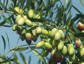 Settlers burn Palestinian olive trees