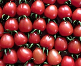 Yüksel launches new tomato variety