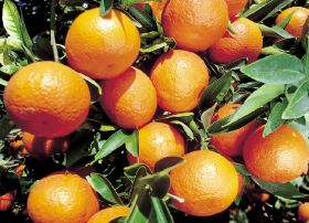 BGP increases Egyptian citrus programme