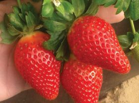 Italy sees drop in strawberry area