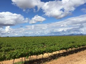 Mexico tops grape forecast