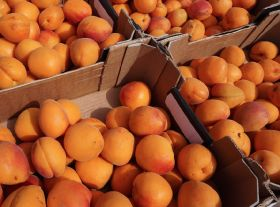 EU apricot yield to fall by nearly a quarter