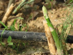 Barfoots asparagus lands at Ocado
