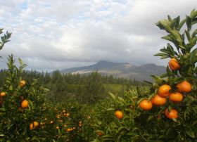 No further EU action on RSA citrus