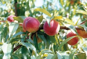 Production growth for stonefruit in China