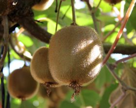 Chile patiently awaits quality kiwifruit