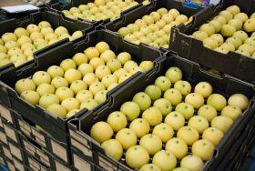 Australia suspends Korean pear imports