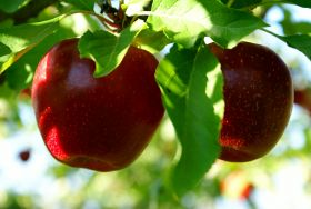 Apple, pear benchmark yield rises