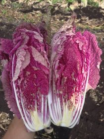 CN Seeds launches 'neon pink' cabbage