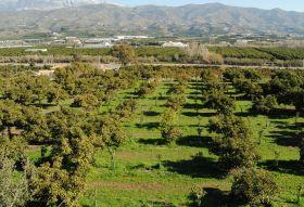 Spanish avo plantings on the rise