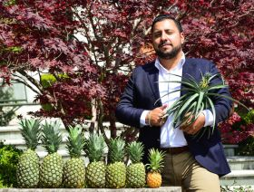 Small steps for crownless pineapples