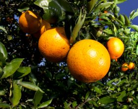 Florida citrus forecast slashed after Irma