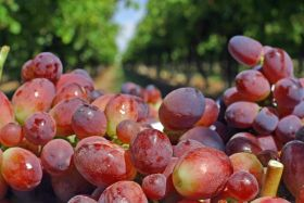 Argentina grapes gain access to China