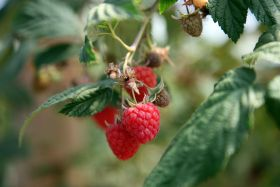 Belco invests in raspberries