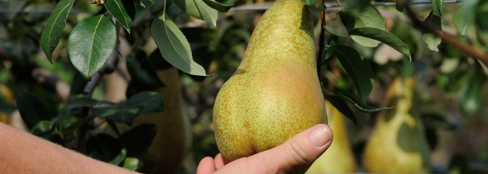 Italian pear production set to fall