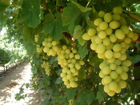 Relentless heat hits CA grapes
