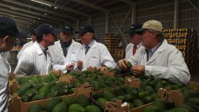 China push for Chilean avocados
