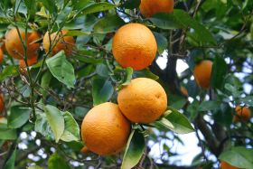 California citrus shipments take a hit