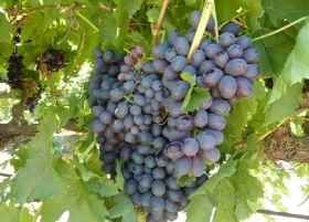 Australia extends South Korean grape access