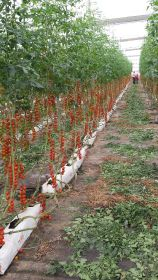 Canaries invest further in specialty tomatoes