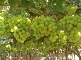 Egyptian grapes target China