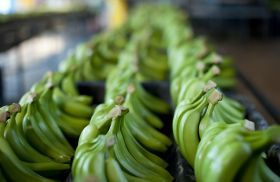 Peruvian bananas reach new markets