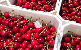 High hopes for Chilean cherry exports