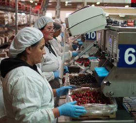 Chile limbers up for another bumper cherry campaign