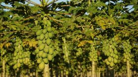 Brazilian papayas feeling effects of El Niño