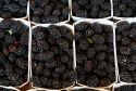 Here comes the berry in black