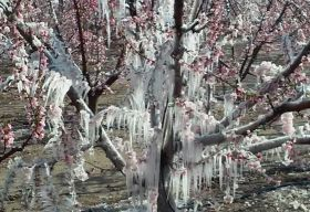 Freeze decimates Spanish fruit production