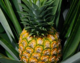 IPL moves to change Asda's pineapple supply model