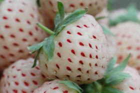 Pineberries released in Australia