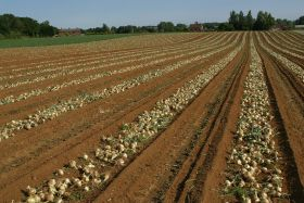 Cautious optimism for onions