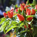 British chilli production steps up