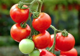 Tomato suppliers reap benefits of switching to LED