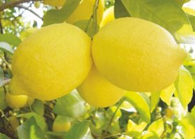 South African lemon growth confirmed