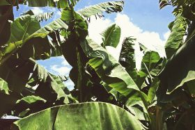 Nicaragua bananas affected by drought