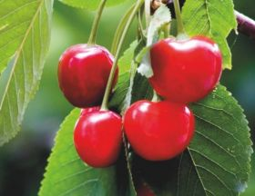 Turkish cherries close in on China