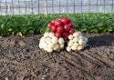Radish market hots up