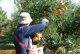 Records tumble for Australian citrus