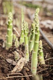 UK asparagus ends after rain culls extension hopes