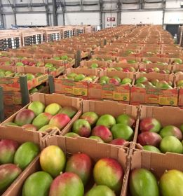 Peruvian mangoes hit new high