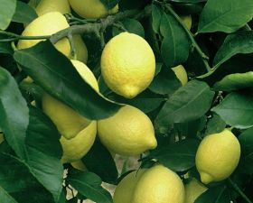 Chile fills organic lemon shortfall