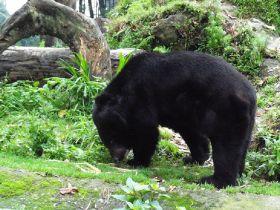 Mushroom picker 'attacked by drunk bear'