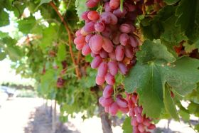 Late start for Australian grapes